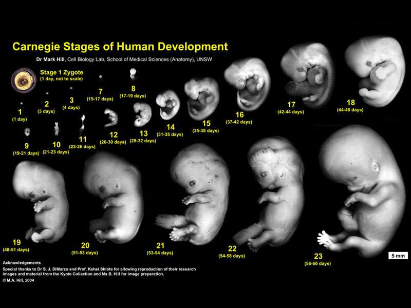 Human_Carnegie_stage_1-23