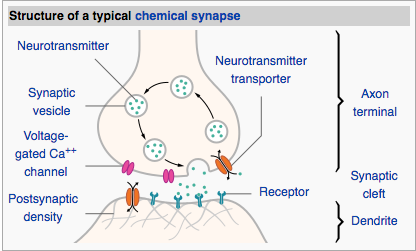Synapse Structure
